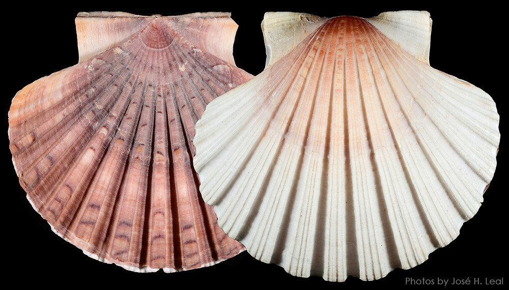 A Very Special Scallop