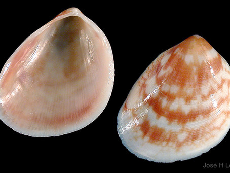 Shell of the Week: The Painted Egg Cockle