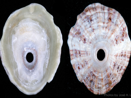 The Rosy Keyhole Limpet