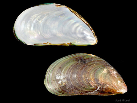 Shell of the Week: The Green Mussel