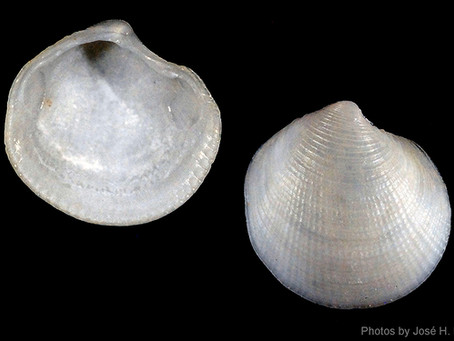 Shell of the Week: The Many-lined Lucine