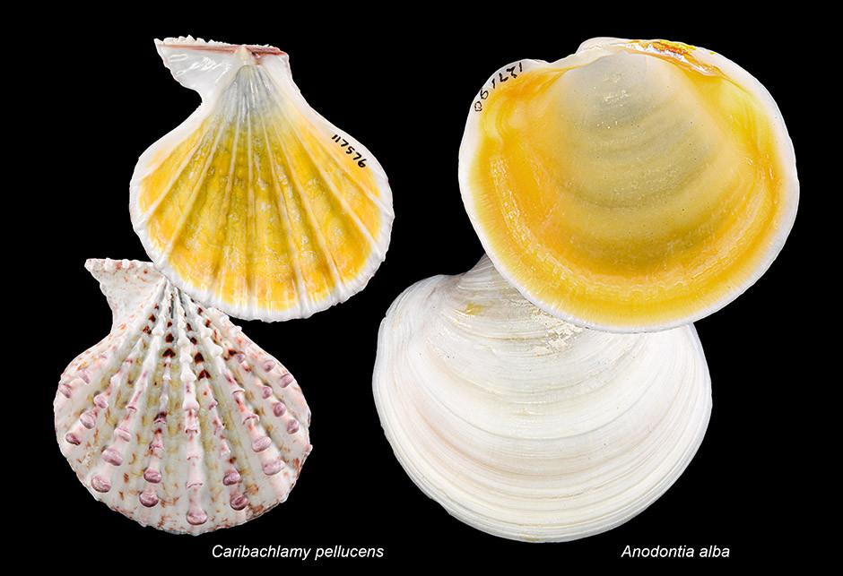 Hidden yellow color inside the shells of (left) the Knobby Scallop and Buttercup Lucine.Views of the external surfaces (bottom) are included for comparison.  Photos by James F. Kelly.