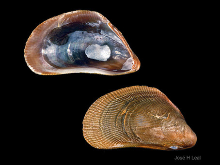 Shell of the Week: The Scorched Mussel
