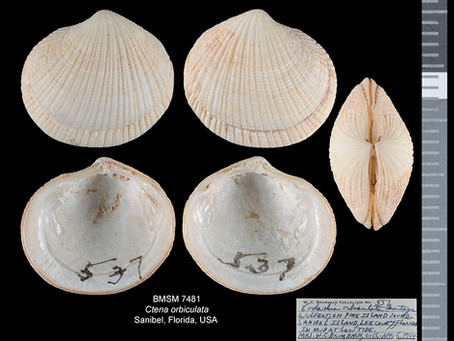 Shell of the Week: The Dwarf Tiger Lucine