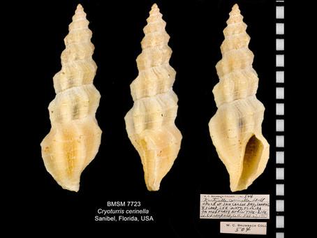 Shell of the Week: The Waxy Mangelia