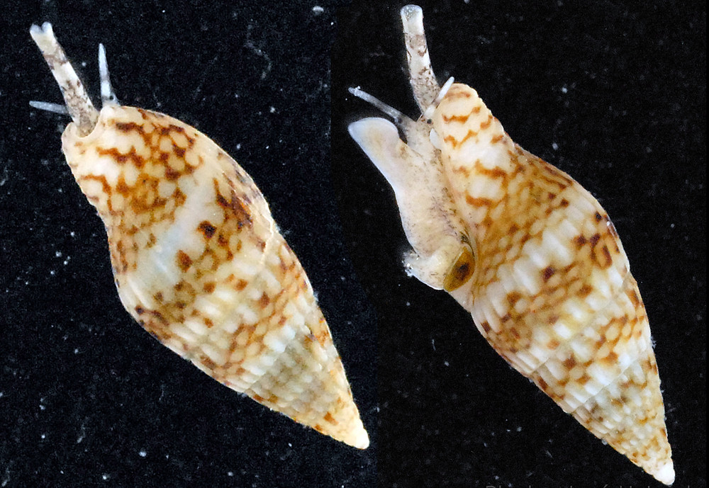 The Sparse Dove Snail?