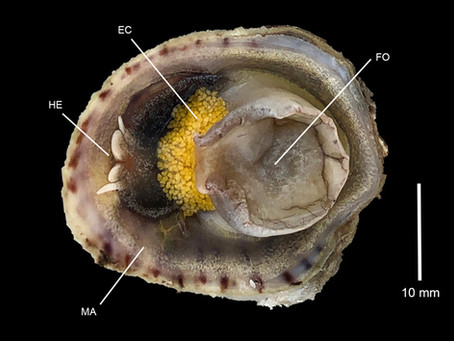 Spotted Slipper Snail Eggs