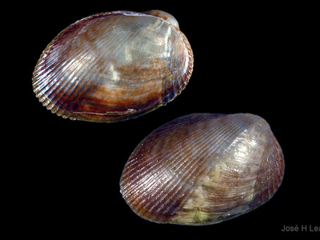 Shell of the Week: The Lateral Mussel