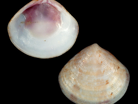 Shell of the Week: The Waxy Gould Clam