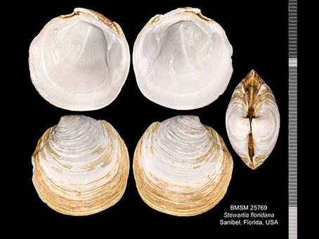 Shell of the Week: The Florida Lucine