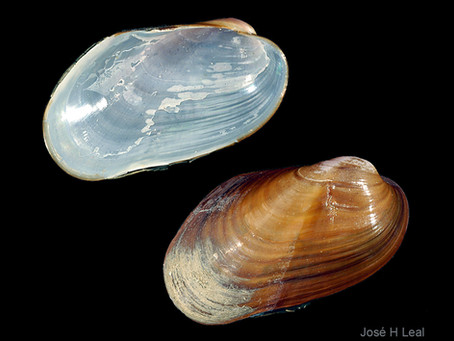 Shell of the Week: The Chestnut Mussel