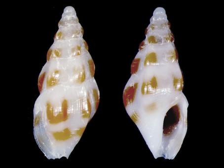 Shell of the Week: The Orange-rib Drillia