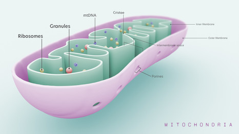 3D model - Mitochondrion