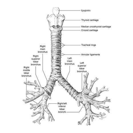 Anatomical illustration - Trancheobronchial Tree
