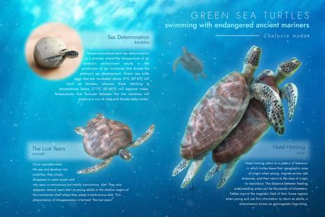 Educational Illustration - Green Sea Turtles
