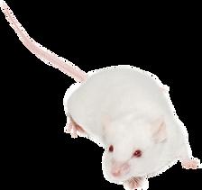 rat%20rec_edited.png