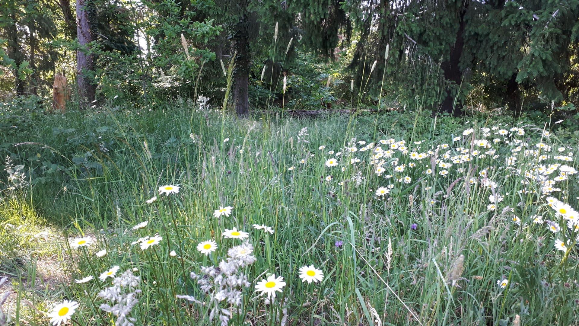 Veldmargrieten in ons bos (ook bramen)
