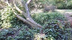 Eén van de 2 gevallen bomen van afgelopen maanden