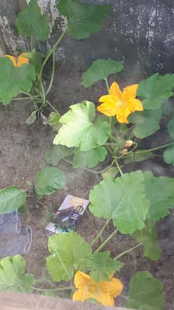 Deze prachtige (courgette) bloem lacht mij toe vanuit haar warme kas