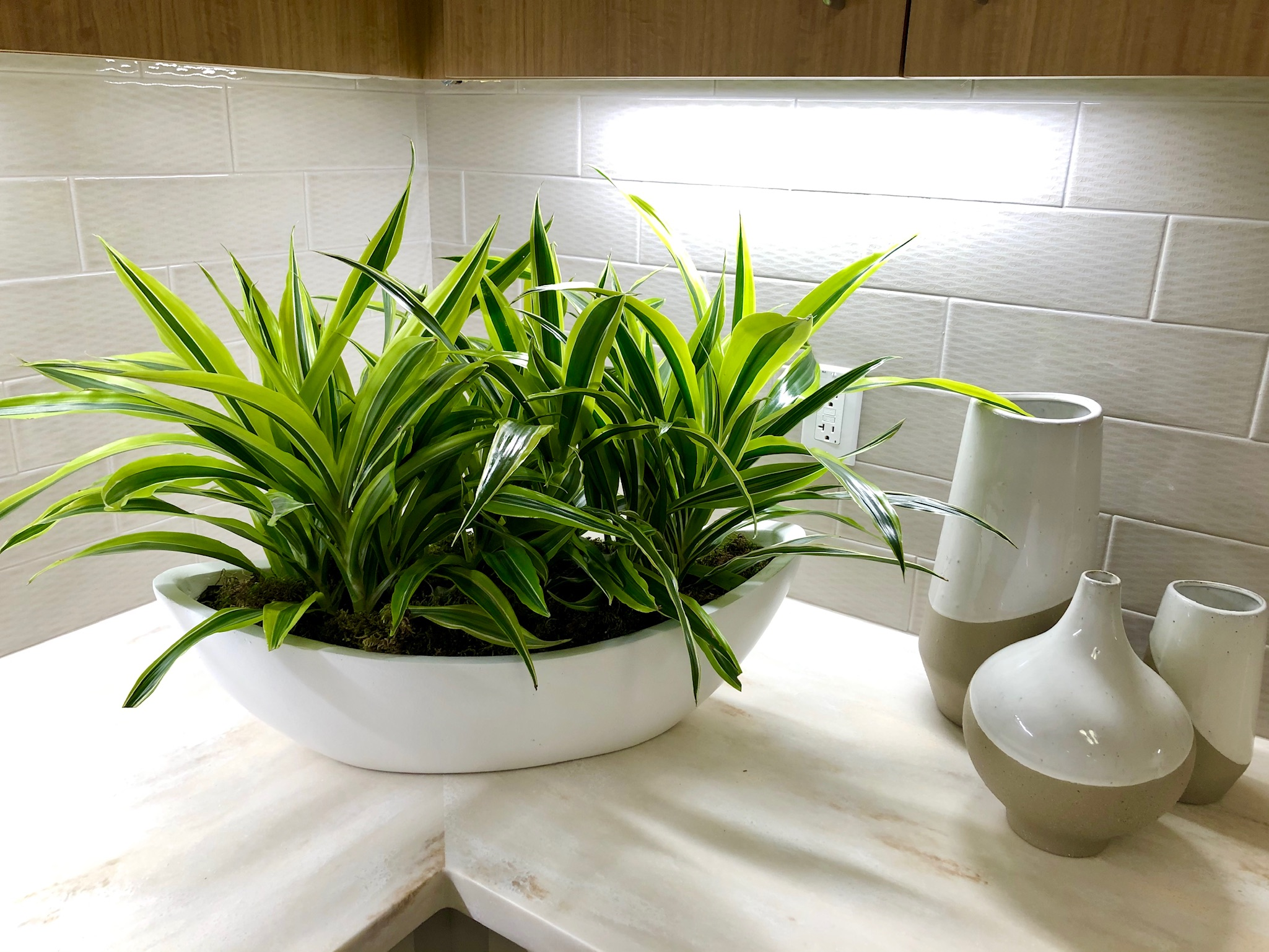 "Dracaena ""Lemon Lime"" Gondola"