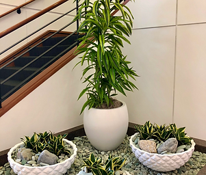 Dracaena%20Lemon%20Lime%20with%20Asian%2