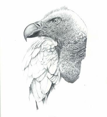Cape Vulture Study