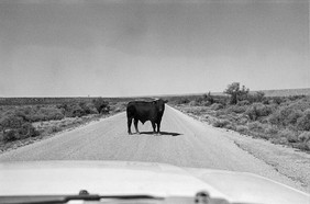 Into the West 2019, 1 bull in the road, brantley lake (1 of 1).jpg