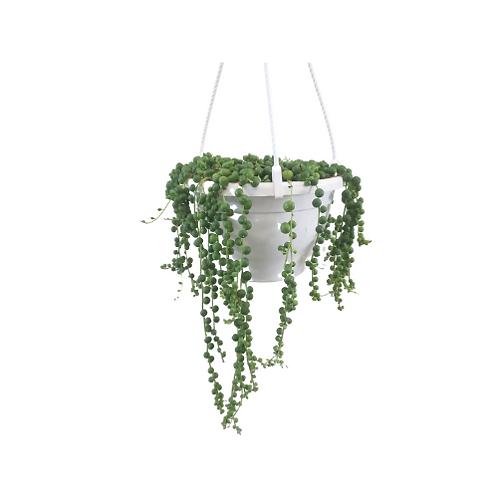 String of Pearls 8 inch Hanging Basket