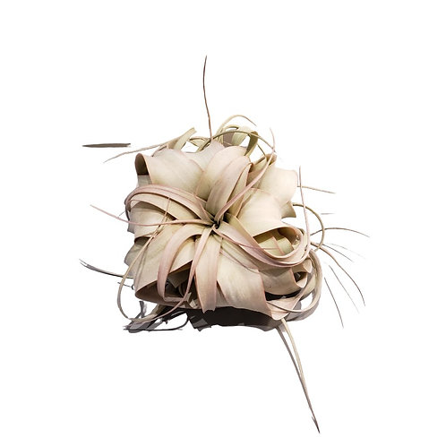 Xerographica Airplant - Large