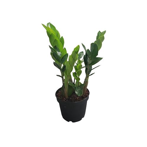 ZZ Plant 6 inch
