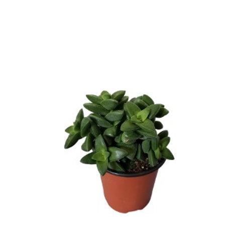Crassula Springtime 4 inch