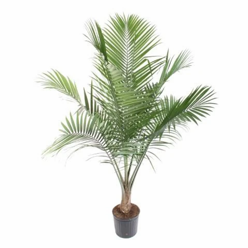 10 inch Majesty Palm