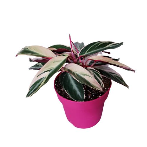 Stromanthe Triostar, 6 inch pot