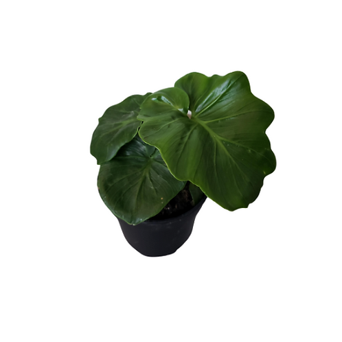 Philodendron Super Atom 4 inch Pot