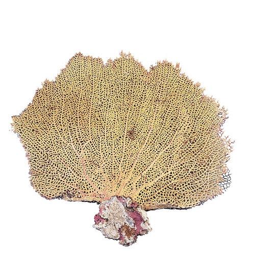 Preserved Sea Fan Natural