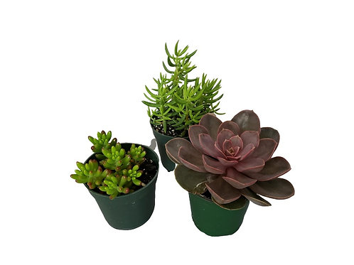 Succulents Assorted 3-pack, 4 inch