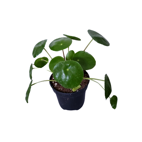 Pilea Peperomioides (Chinese Money Plant), 4 inch