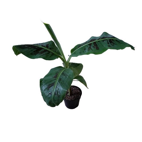 Banana Plant (Indoor) 6 inch