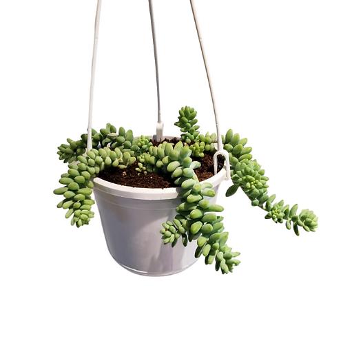 Burrow's Tail Hanging Basket 6 inch