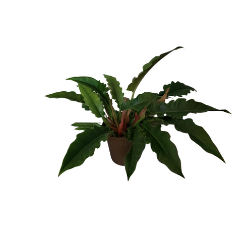 Philodendron Narrow 8 inch Pot