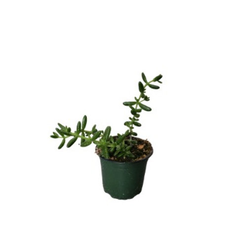 Pickle Plant 4 inch
