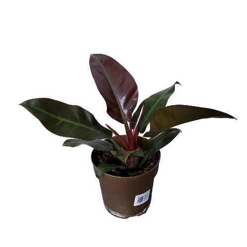 Philodendron Imperial Red 8 inch Pot
