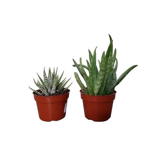 Hawarthia & Aloe Pack 4 inch