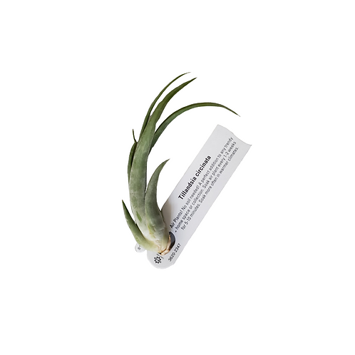 Airplants Assorted 2 Pack