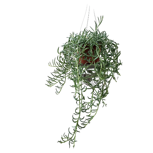 Fish Hooks, Succulent Hanging Baskets - 6 inch