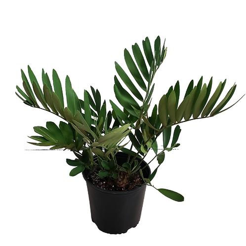 Cardboard Palm 10 inch Pot (Zamia Furfuracea)