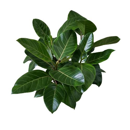 Ficus Altissima Yellow Gem 3 Gallon Pot