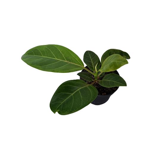 Ficus Golden Gem (Altissima)