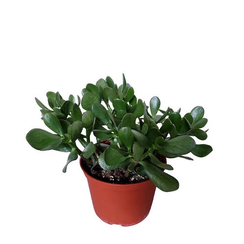Jade 6 inch Pot
