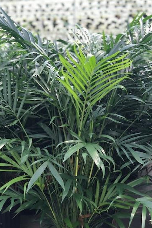 10 inch Cat Palm